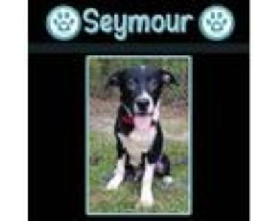 Adopt Seymour 073121 (YMAH Honeys) a Hound, Shepherd