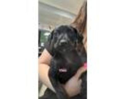 Adopt PINOT NOIR a Pit Bull Terrier