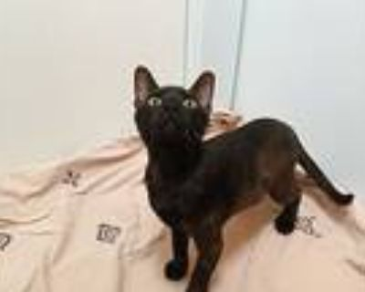 Sinead, American Shorthair For Adoption In Houston, Texas