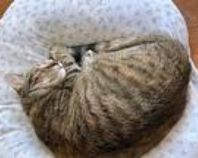 Adopt Stormi a Spotted Tabby/Leopard Spotted American Shorthair / Mixed (short