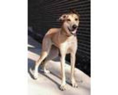 Adopt Goldy locks 'Nova' a Red/Golden/Orange/Chestnut Greyhound / Shepherd