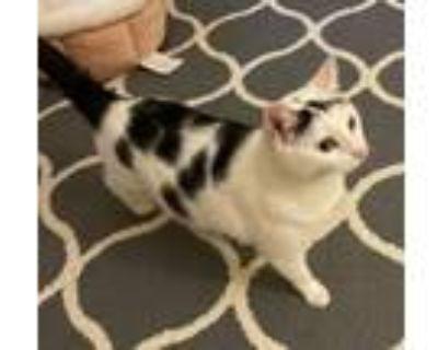 Adopt Delphina a Domestic Short Hair