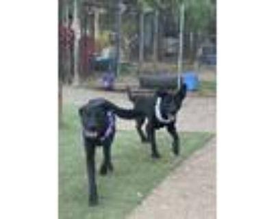 Adopt Adorable Lab/Shepherd Mix MARIO a Shepherd, Labrador Retriever