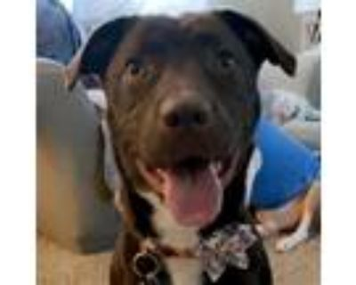 Adopt Cocoa a Brown/Chocolate - with White Labrador Retriever / Pit Bull Terrier