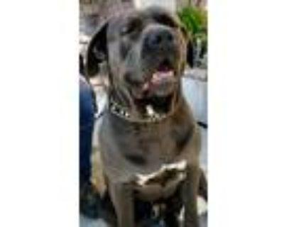 Adopt Harry a Neapolitan Mastiff