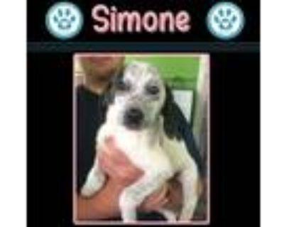 Adopt Simone (Motley Cru) 072421 a White - with Black Labrador Retriever / Blue