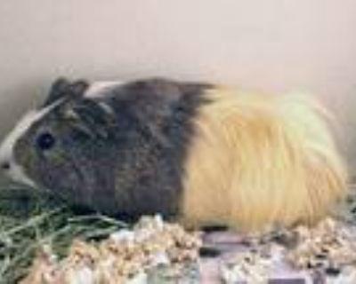 Adopt GUINEA PIG a Guinea Pig