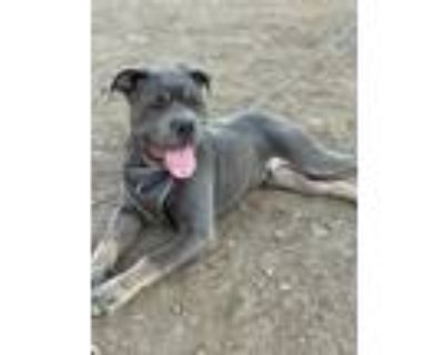 Adopt Dior a Gray/Silver/Salt & Pepper - with White Cane Corso / Mixed dog in