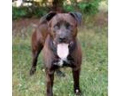 Adopt Roxbury 10142 a Black Labrador Retriever / Pit Bull Terrier / Mixed dog in