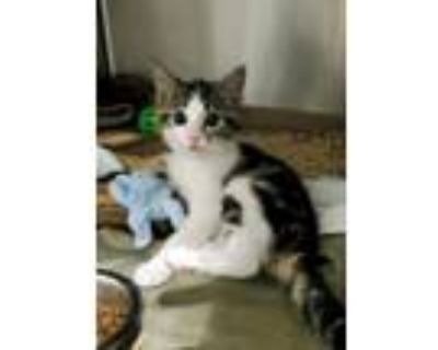 Adopt Butter Cup a Domestic Short Hair