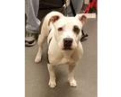 Adopt Coraline a American Pit Bull Terrier / Mixed dog in Albuquerque
