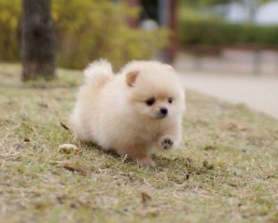 Teacup Pure Breed Pomeranian