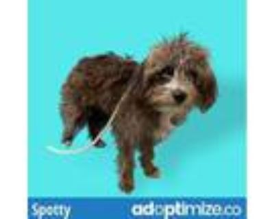 Adopt SPOTTY a Brown/Chocolate Terrier (Unknown Type, Medium) / Mixed dog in