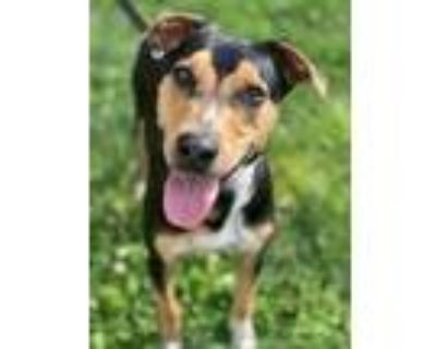 Adopt Chase a Black Doberman Pinscher / Hound (Unknown Type) / Mixed dog in