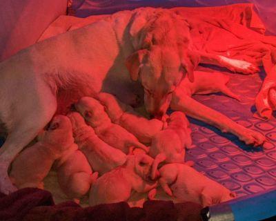 American Labrador Retriever Puppies---All Yellow