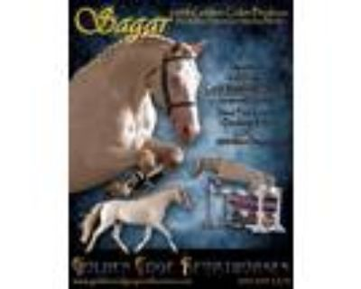 Imported perlino WARMBLOOD stallion standing in CO