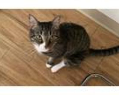 Adopt SHERE KHAN a Brown Tabby Domestic Mediumhair / Mixed (medium coat) cat in