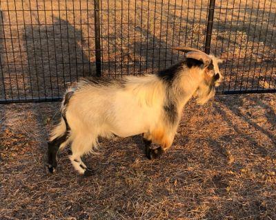 Goats for sale, Azle TX