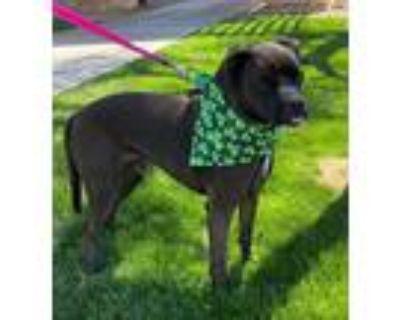 Adopt ROLLIE a Black Labrador Retriever / American Pit Bull Terrier / Mixed dog