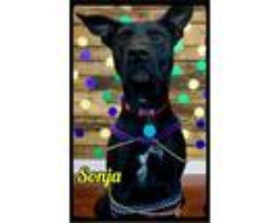 Adopt Sonja - Foster (101) / 2016 a Black Labrador Retriever, Cattle Dog