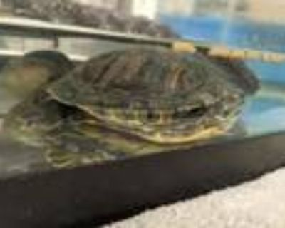 Adopt Cindy a Turtle