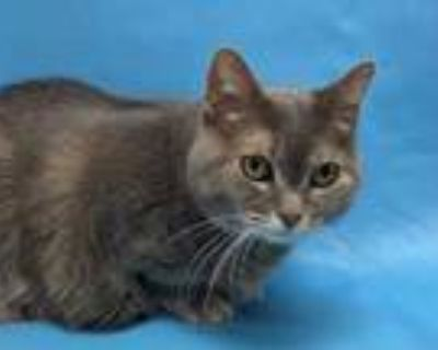 Adopt Elle a Gray or Blue Domestic Longhair / Domestic Shorthair / Mixed cat in