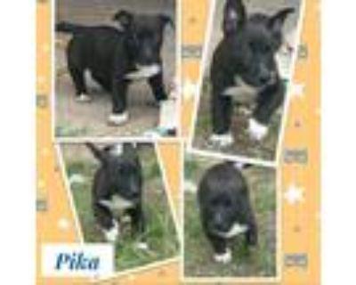 Adopt Pika a Black Pembroke Welsh Corgi / Labrador Retriever / Mixed dog in El