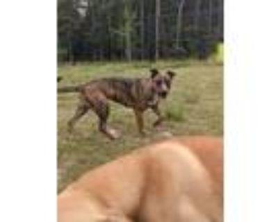 Adopt Josie a Brindle Plott Hound dog in Douglasville, GA (32188550)