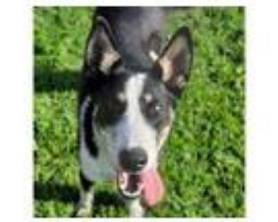 Adopt WADE a Australian Cattle Dog / Blue Heeler, Mixed Breed