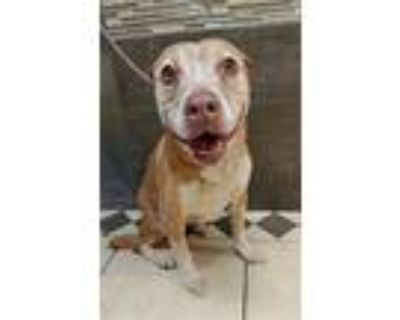 Lulu, Staffordshire Bull Terrier For Adoption In Modesto, California