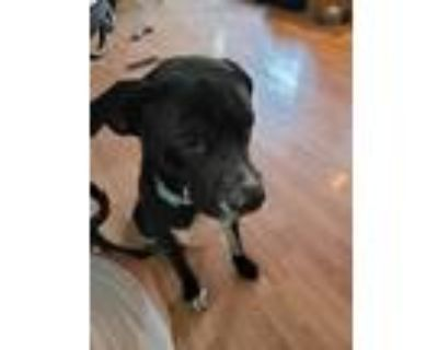 Adopt Vader a Black - with White American Pit Bull Terrier / Mixed dog in Breaux
