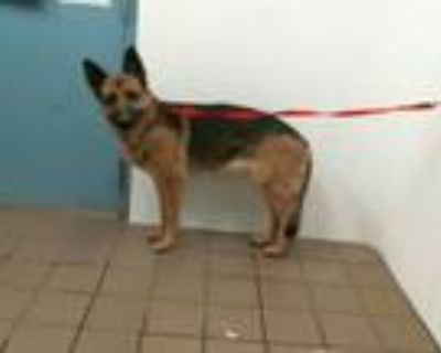 Adopt MIKAELA a German Shepherd Dog