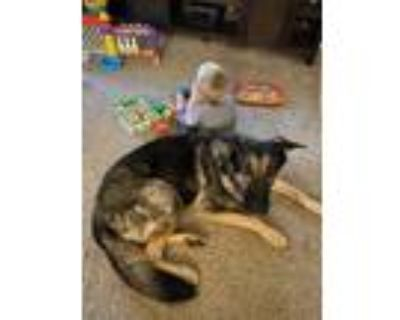 Adopt Bogey a Black - with Tan, Yellow or Fawn German Shepherd Dog / Irish