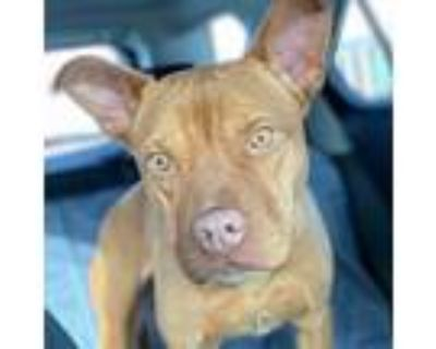 Adopt Olive a Red/Golden/Orange/Chestnut Pit Bull Terrier / Mixed dog in