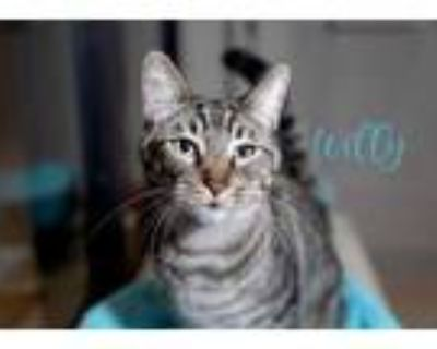Adopt Willy (Bonded with Matty) a Brown or Chocolate Domestic Shorthair /