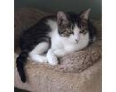 Adopt Hildy a Gray or Blue (Mostly) Domestic Shorthair / Mixed (short coat) cat