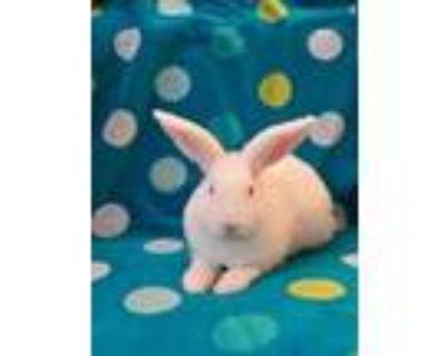 Adopt ROSEBUD a White Blanc de Hotot / Mixed rabbit in Albuquerque