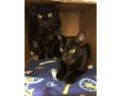 Adopt Phoebe and Cleo a Domestic Short Hair