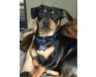Adopt Starsky a Dachshund, Jack Russell Terrier