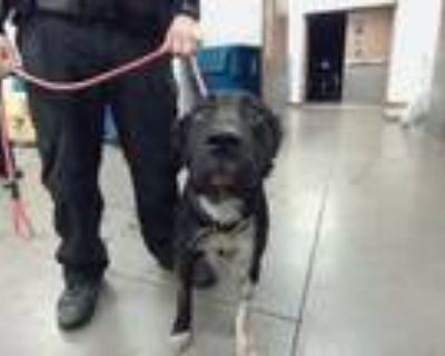 Adopt MR PEABODY a Pit Bull Terrier, Mixed Breed