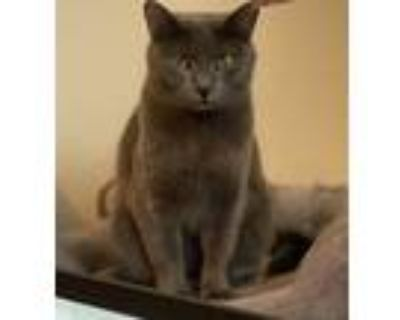 Adopt Sydney a Gray or Blue Domestic Shorthair / Mixed (short coat) cat in