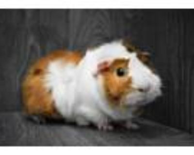 Adopt Clyde a Guinea Pig