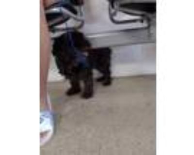 Adopt ADOPTED a Black Schnauzer (Miniature) / Poodle (Toy or Tea Cup) / Mixed