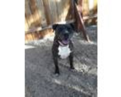Adopt Buster Brown - PS a Black - with White American Staffordshire Terrier /