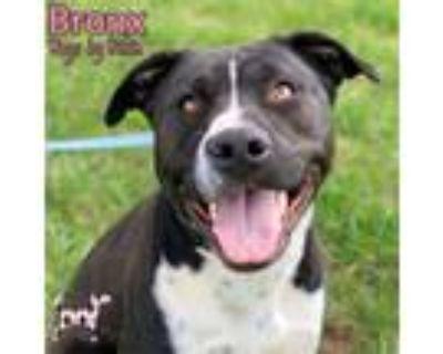 Adopt Bronx a Staffordshire Bull Terrier