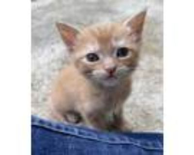 Adopt Dorito a Orange or Red Domestic Shorthair / Mixed cat in Bossier City