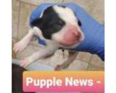 Adopt Pupple News a Labrador Retriever, Great Pyrenees