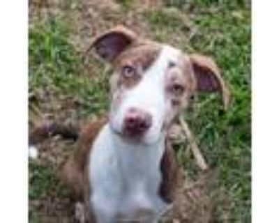 Adopt Skye a Brown/Chocolate - with White Catahoula Leopard Dog / Terrier