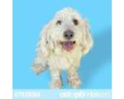 Adopt 47930084 a White Miniature Poodle / Mixed dog in El Paso, TX (31519436)