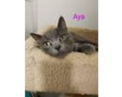 Adopt Aya a Domestic Short Hair